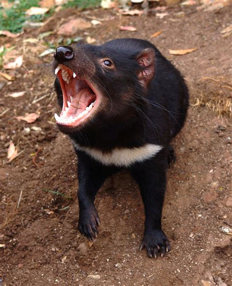 Tasmanian devil history and some interesting facts