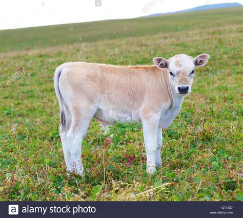 Baby Jersey Dairy Cow Stockfotos & Baby Jersey Dairy Cow