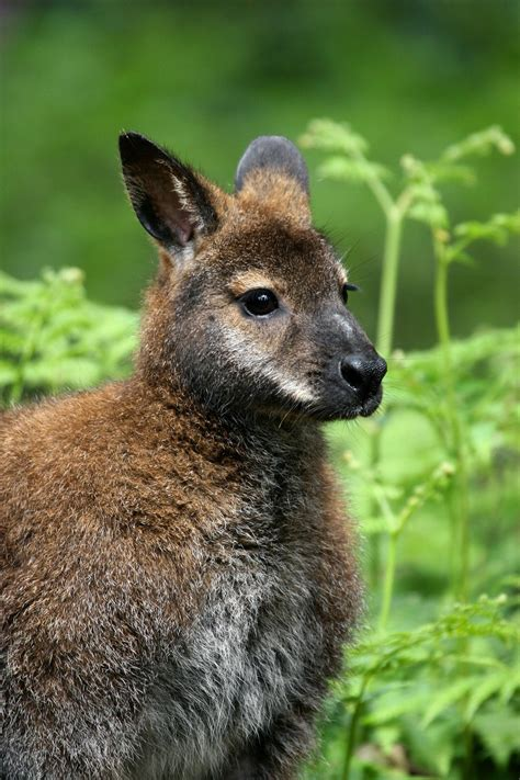 Red-Necked Wallaby | New Forest Wildlife Park