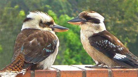 Laughing Kookaburra Takes a Bath and Laughs - YouTube